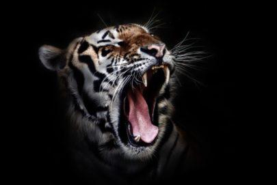 tiger-655593_1920-2