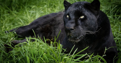 53435_leopard_black_panther