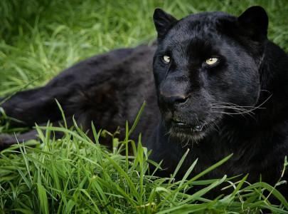53435_leopard_black_panther